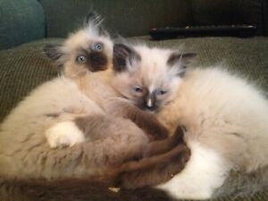 Adorable Ragdoll Kittens, very fluffy very affectionate