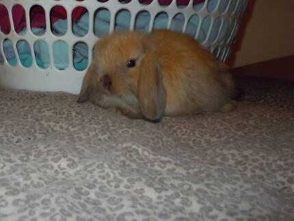 Pure Cashmere Mini Lop baby rabbit - male