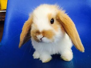 Dwarf lop baby rabbit purebred Willetton Canning Area Preview