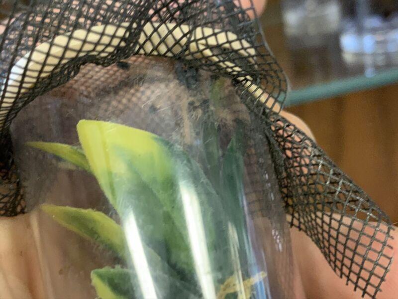 "Avicularia avicularia - Pink Toe Tarantula 1/2"" Specimen Educational"