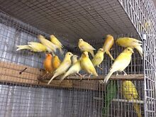 Birds for sale Taylors Lakes Brimbank Area Preview