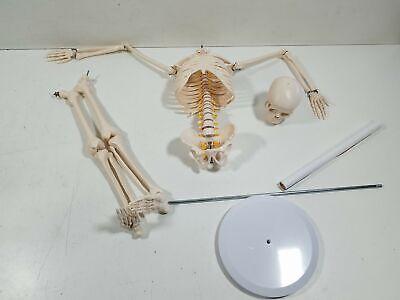 Mini Human Skeleton Anatomy Model - Science Classroom Skeleton Model