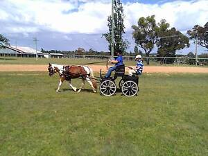 Delightful Welsh B Reg Mare. Broken to Harness and Saddle. Armidale Armidale City Preview