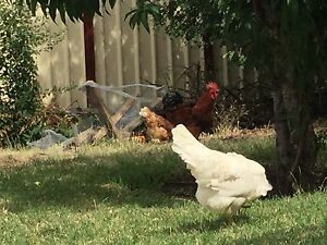Chickens Meadow Heights Hume Area Preview