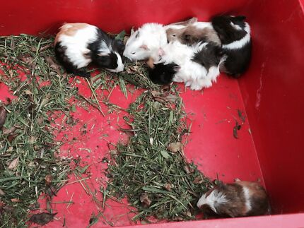 Lovely female guinea pigs West Ryde Ryde Area Preview