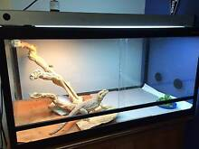 Bearded Dragon with complete set up Kedron Brisbane North East Preview