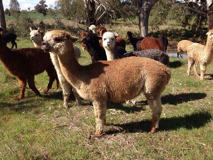 Fawn female alpaca and white female cria Thoona Benalla Area Preview
