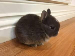 Netherland Dwarf Rabbit Hillside Melton Area Preview