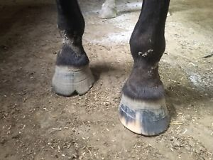 Farrier taking new clients