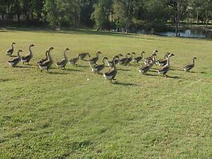 GEESE CHINESE / YOUNG STOCK Tamborine Ipswich South Preview