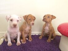 American Red Nose Staffy Pups Beaudesert Ipswich South Preview