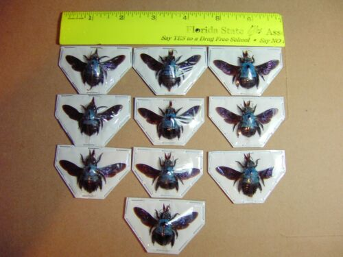 Xylocopa caerulea (Blue Carpenter bee)10 Lot  Nice Spread Adult Specimens