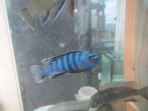 Fish for sale - cichlids, angels, catfish, tropicals, goldfish Redlynch Cairns City Preview