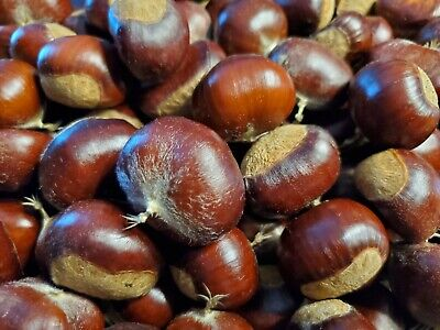 5lbs!!! Fresh Raw Organic Chinese Chestnuts