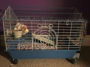 Guinea Pig W/ cage, bedding, hay and food