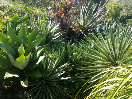 Agave and succulents