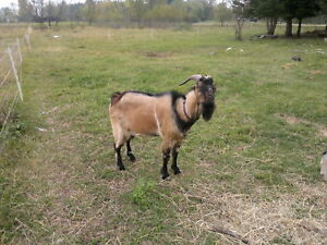 Lamanchamix billy (dairy goat) for sale