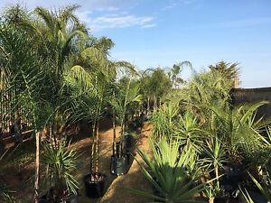 Palms And Exotics For Sale Melton Melton Area Preview