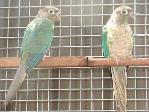 Blue Yellowsided Conure Hens (2) Wattle Grove Liverpool Area Preview