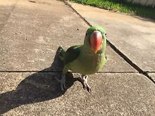 Baby ALEXANDRINE PARROT (unweaned) St Marys Penrith Area Preview