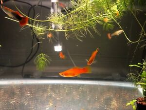 Red sword tail fish