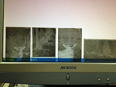 TWELVE GLASS NEGATIVES (3 X 2) OF ELK & DEER----------------------------------gc