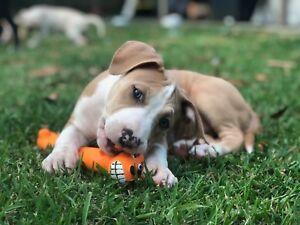 American staffy puppies