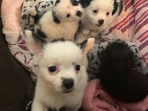 chihuahua puppies for sale KEWDALE PERTH WA