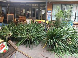 Heaps of Cliveas potted up and ready to go Lane Cove Lane Cove Area Preview