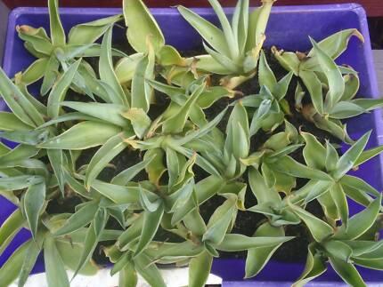 Agave Landscape Plants (Various Sizes)