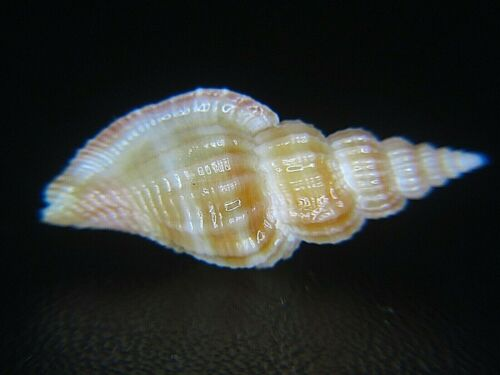 TIBIA CRISPATA: RARELY OFFERED @ 23.97MM! CURRENTLY THE BEST PRICE ON EBAY!