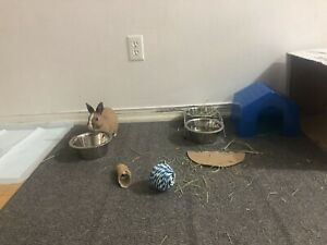 Dwarf bunny with cage, food and play toys