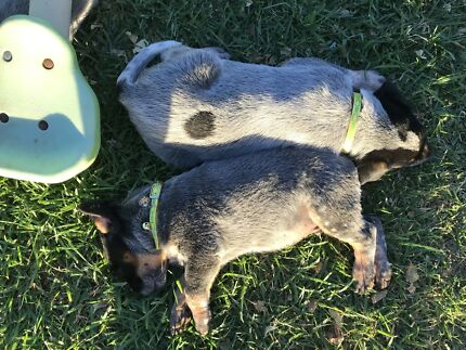 Pure bred cattle dog pups