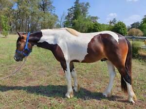 Gypsy Cob x Quarter Horse gelding
