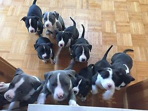 Dogo Argentino cross puppy's for sale!
