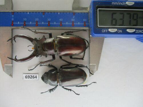 69264*****Lucanidae: Lucanus dongi ssp. new area. Vietnam. 63mm. rare*****