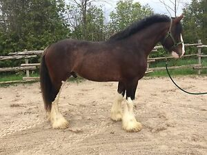 Standing At Stud: Registered Clydesdale Stallion