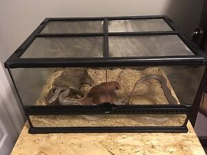 Corn snake with tank and all accessories