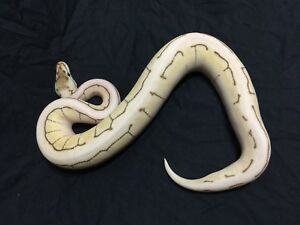 Butter Spinner Ball Python