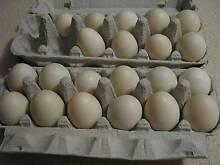 peakin fertile duck eggs Oakford Serpentine Area Preview