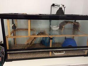 Terrarium et rat mâle