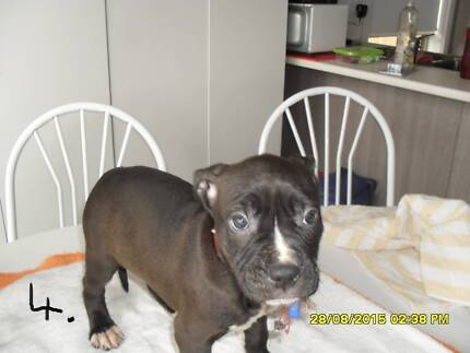American Staffy pups Mill Park Whittlesea Area Preview