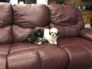 Teddy Bear Shichon Puppies! READY NOW!
