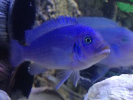 Cobalt blue cichlid for sale  Liverpool Liverpool Area Preview