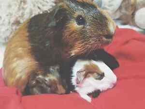 3 Very cute baby Guinea pigs looking for a good home Doubleview Stirling Area Preview