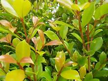 Syzygium Backyard Bliss Darch Wanneroo Area Preview