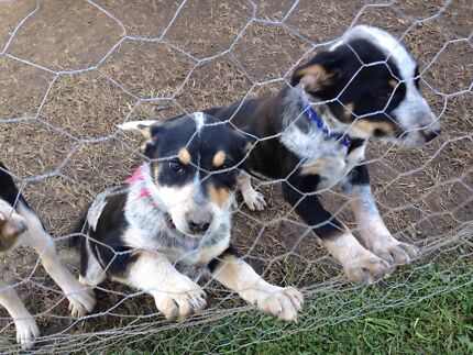 Pups for sale Macksville Nambucca Area Preview