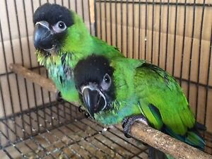 Great pet birds or breeders, nanday conures weaned and ready to go Campbelltown Campbelltown Area Preview