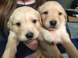 Golden retriever cross lab puppies