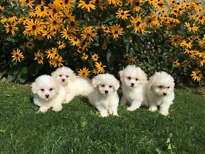 Bichon Frise Puppies | Kijiji in Ontario  - Buy, Sell & Save